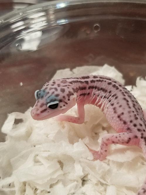 Mack Super Snow Leopard Gecko- Eublepharis macularius