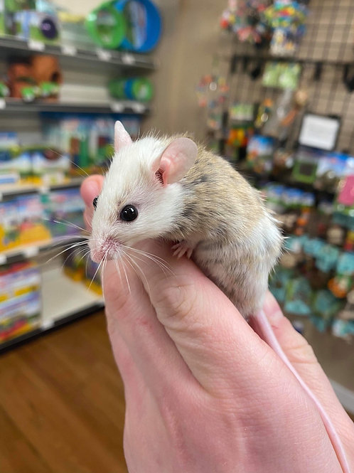 African soft-furred mouse