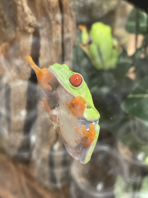 CB Red Eyed Tree frogs - Agalychnis callidryas