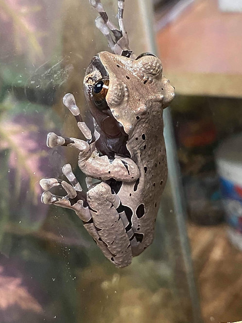 CB Crowned Tree Frog - Triprion spinosus