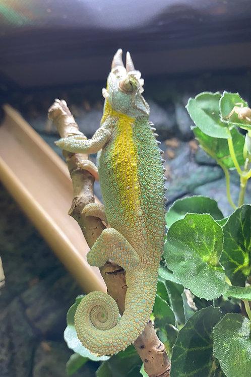WC Rainbow Jackson's Chameleon - Trioceros jacksonii jacksonii