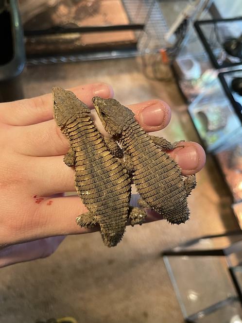 WC Armadillo Lizard - Cordylus beraduccii
