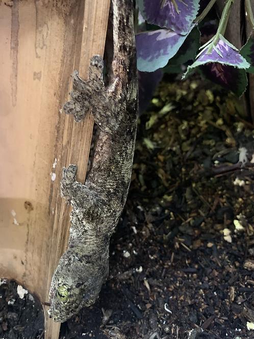 1.1 (PAIR) LTC Halmahera giant geckos-Gehyra marginata