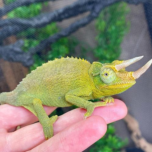 CB Jackson's chameleon- Chamaeleo jacksonii