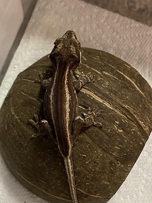 CB Gargoyle Gecko - Rhacodactylus auriculatus