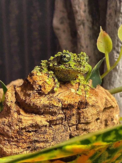 CB Mossy tree frogs