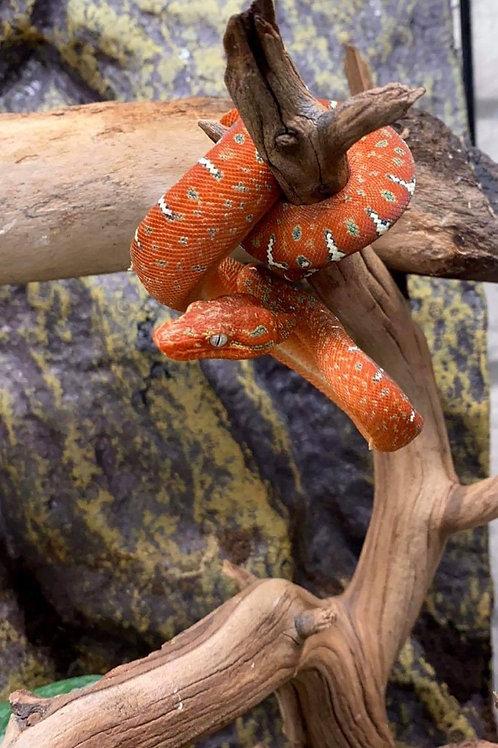 CB Emerald Tree Boa - Corallus caninus