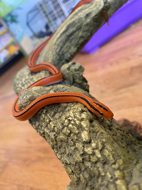 CB Thai Bamboo Rat Snake - Oreocryptophis porphyraceus Coxi