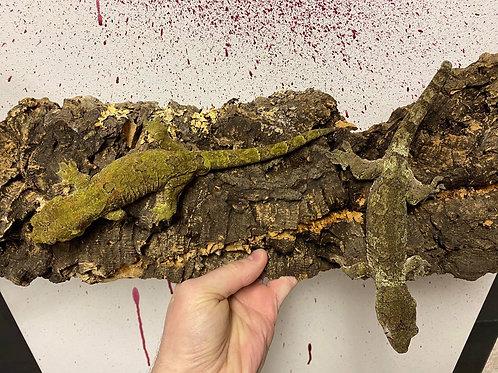 CB 1.1 (Proven Pair) Pine Island Chahoua Gecko- Rhacodactylus chahoua