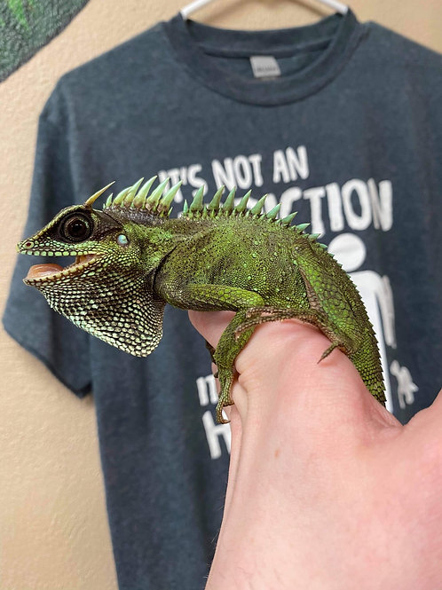 WC 1.1 (PAIR) Natalia's mountain horned dragon- Acanthosaura nataliae