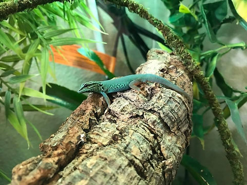 CB Electric Blue Day gecko - L. willamsi