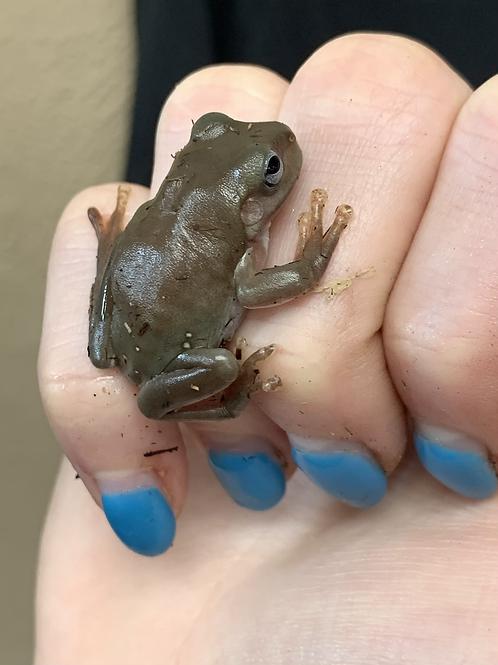 CBB Blue Eyed White's Tree Frog-Litoria caerulea