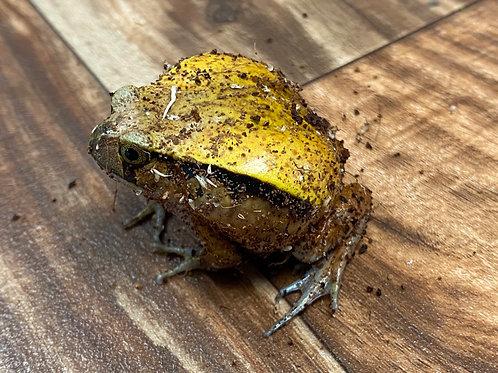 CB 2019 baby tomato frogs - Dyscophus guineti