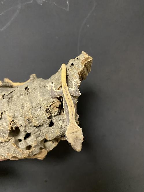 CB Lily White Crested Gecko - Correlophus ciliatus