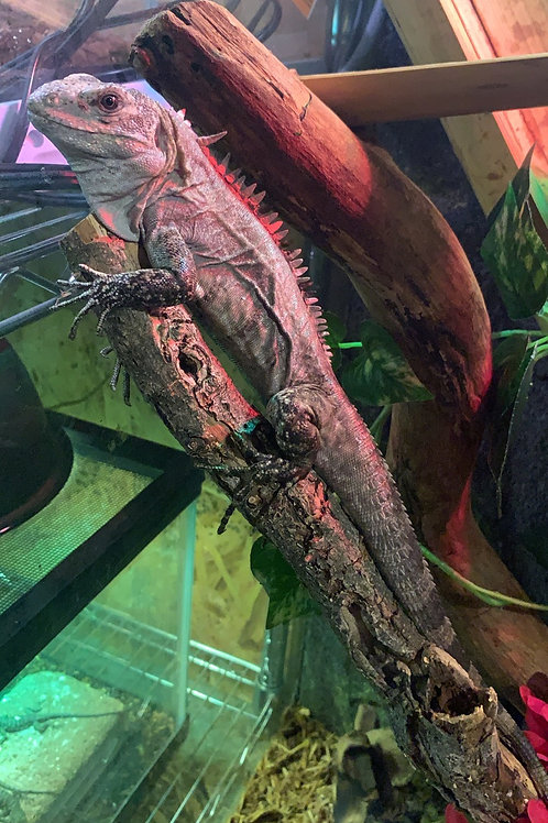 CB 1.2 Utila Spiny Tail Iguana - Ctenosaura bakeri
