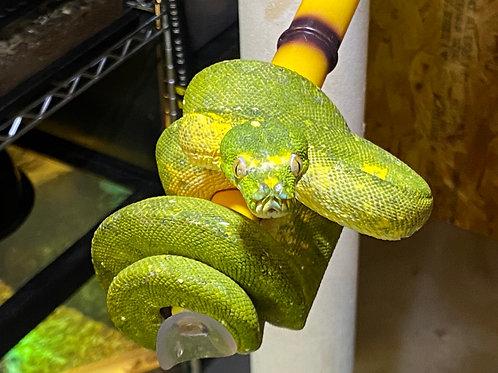WC Green Tree Python - Morelia viridis