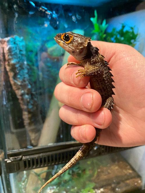 WC Adult Female Red Eyed Croc skink - DescriptionTribolonotus gracilis