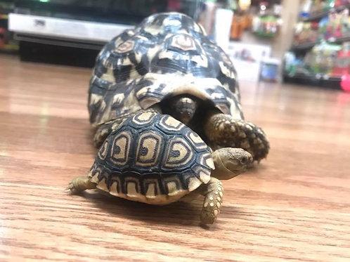 CB Leopard Tortoise - Pardalis Babcocki