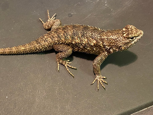 LTC Desert Spiny Lizards - Sceloporus magister