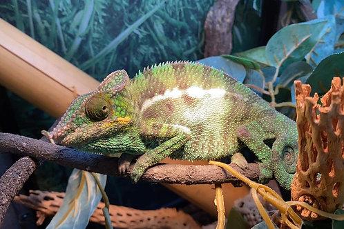 WC Nosy Be Panther Chameleon-Furcifer pardalis