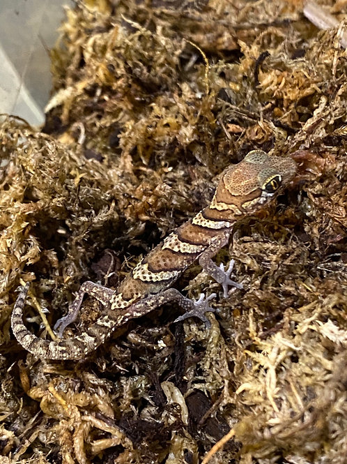 CB Pictus Gecko - Paroedura pictus