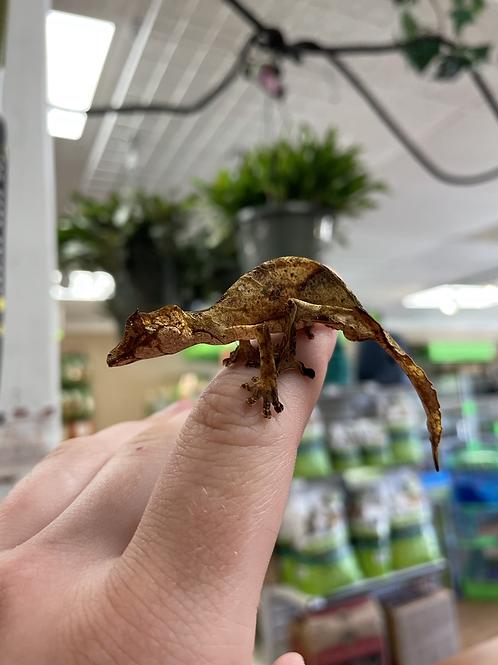 WC Uroplatus Phantasticus - Satanic leaf tail gecko