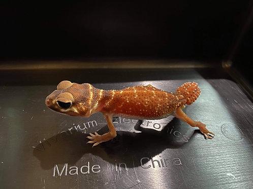 1.1 (PAIR) CB Smooth Knob Tail Gecko- Nephrurus levis levis