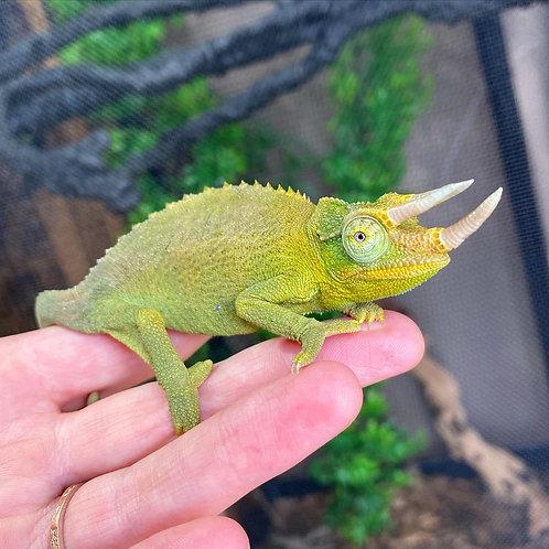WC Jackson's Chameleon - Trioceros jacksonii