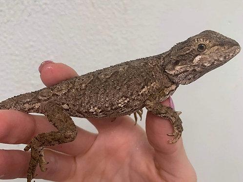 CB Western Bearded Dragon - Pagona Minor