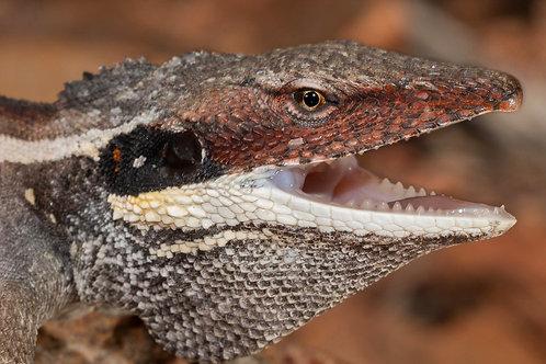 CB Long Nosed Water dragon - Gowidon longirostris