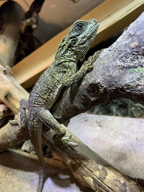 WC Weberi Sailfin Lizard- Hydrosaurus weberi