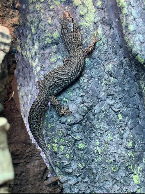 WC California Night Lizard - Xantusia Spp.