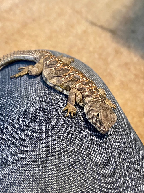 CB Occelated Uromastyx