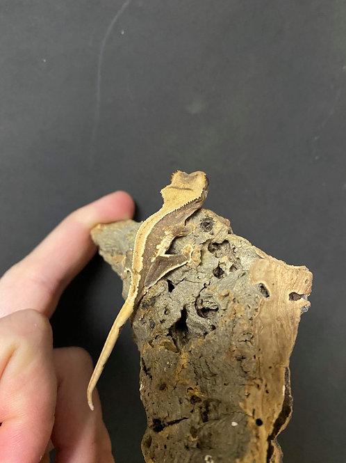 Lilly White-Crested Gecko- Correlophus (Rhacodactylus) ciliatus