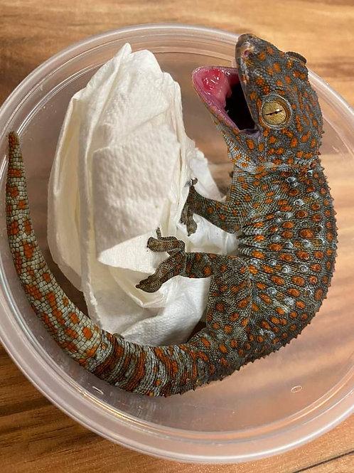 CB Subadult Tokay Gecko-Gekko gecko