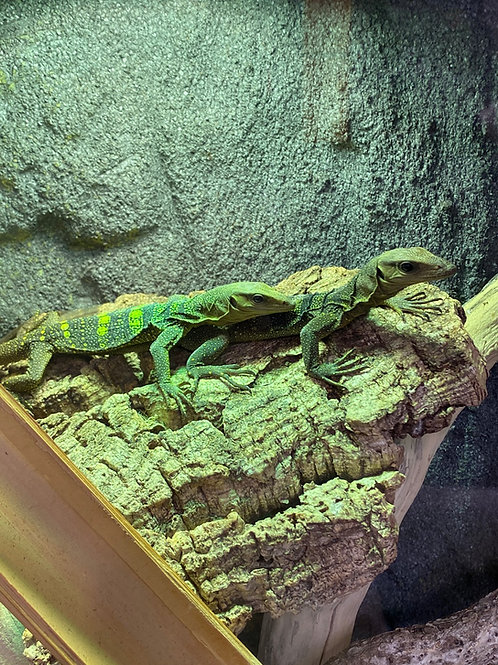 WC Spiny Neck Monitors - Varanus spinulosus
