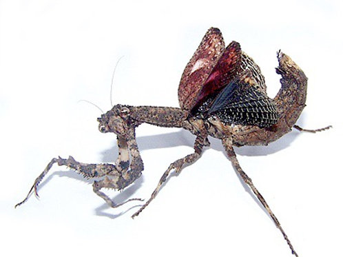 CB African Twig Mantis - Popa Spurca