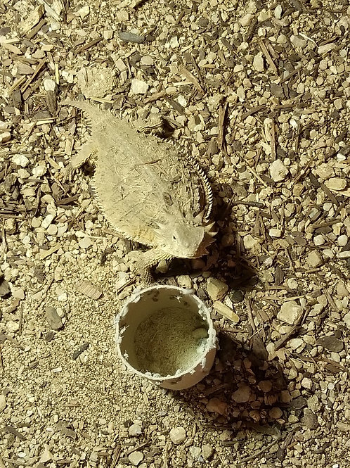LTC Regal Horned Lizard - Phrynosoma solare
