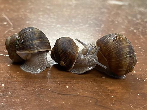 Helix aspera snails (3 for $10)