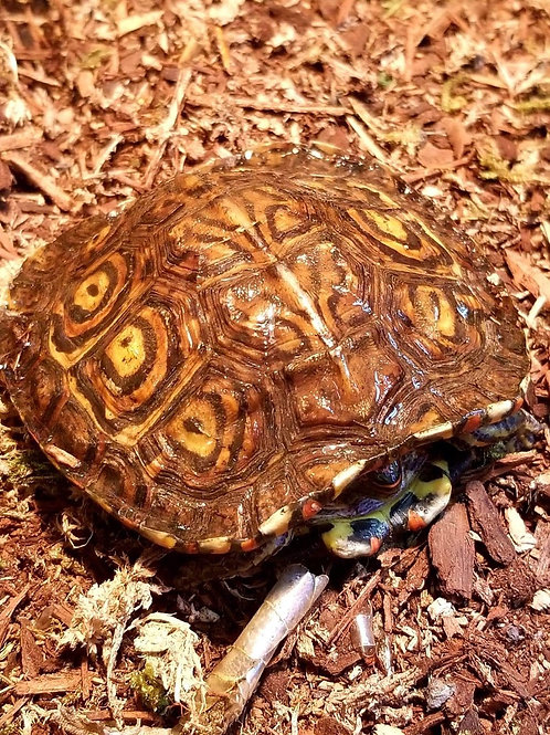 CB Central American wood turtle -