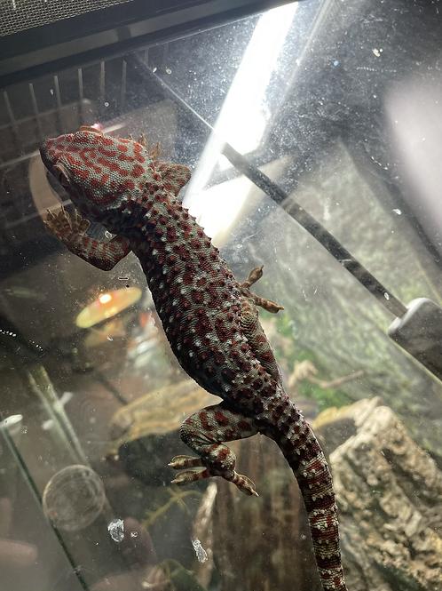CB High Red Tokay Gecko - Gecko gekko