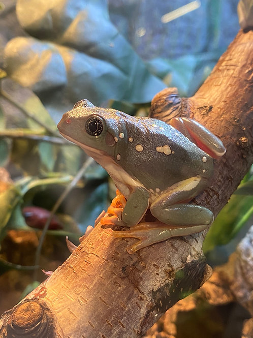 CB Mexican Waxy Tree Frog - Pachymedusa dacnicolor