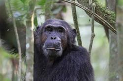 Old schimpanzee
