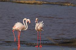 Greater Flamingoes, Lake Magai, Serengeti; Tanzania