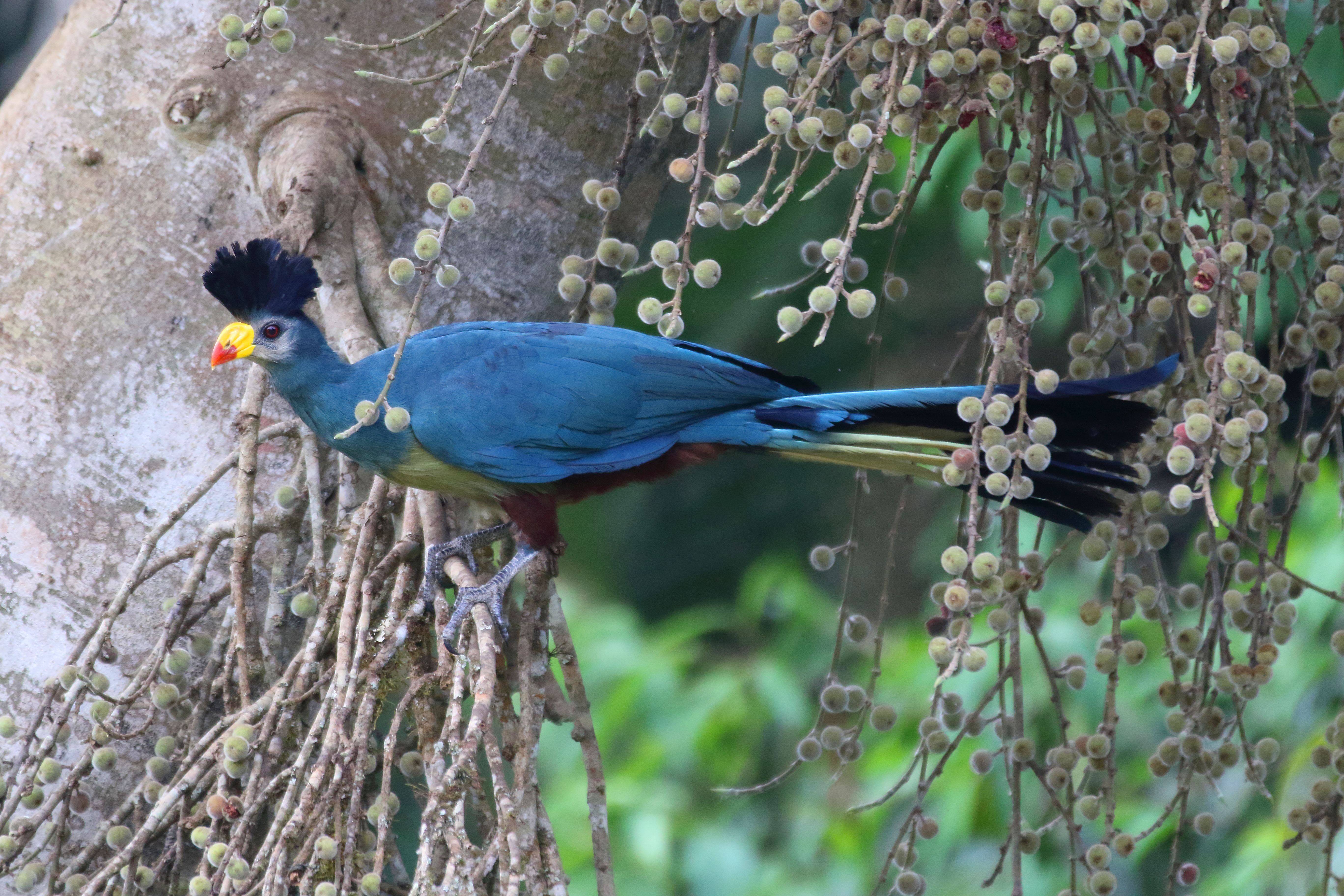 Great Blue Turaco 2