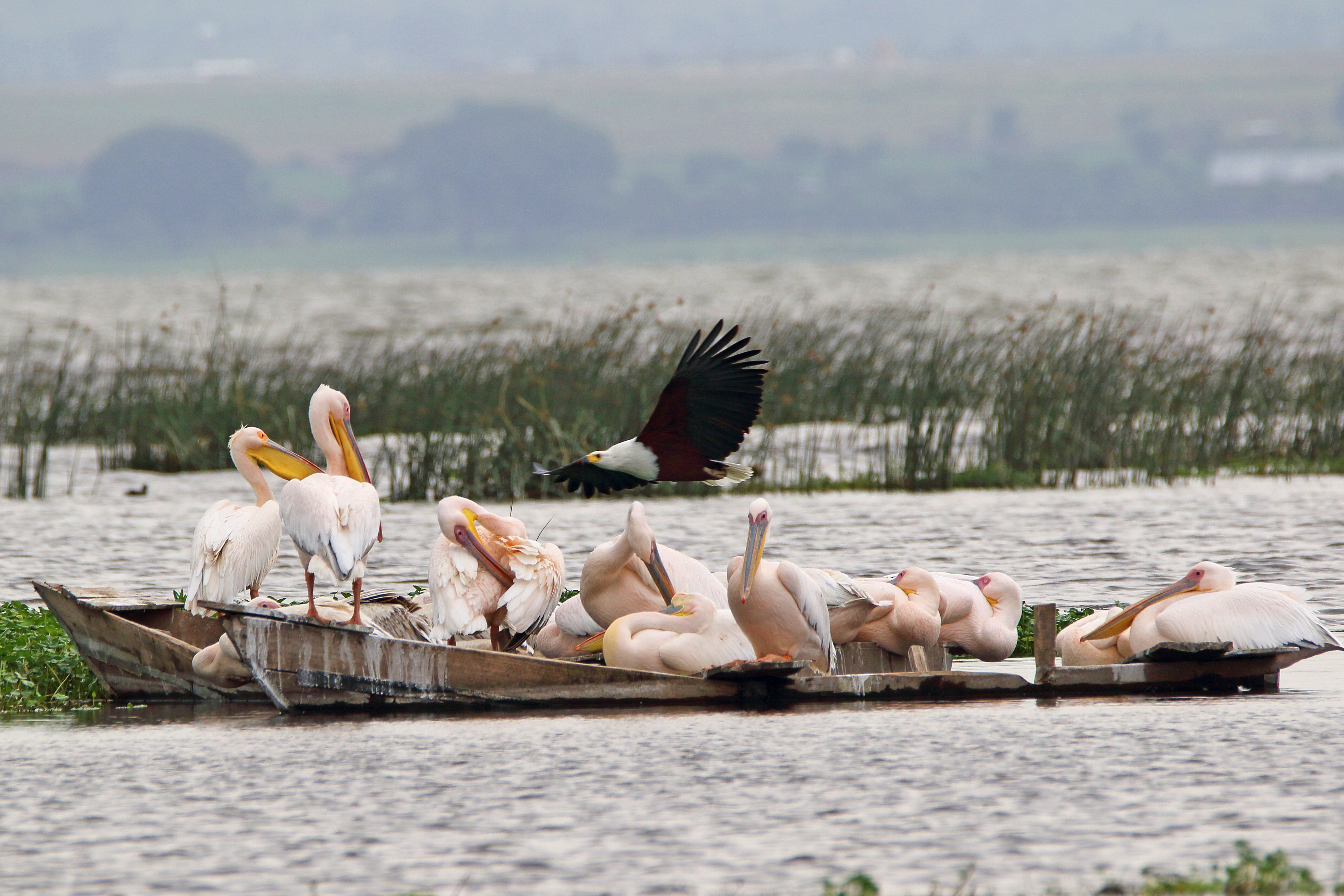 Pelicans and Fish Eagle