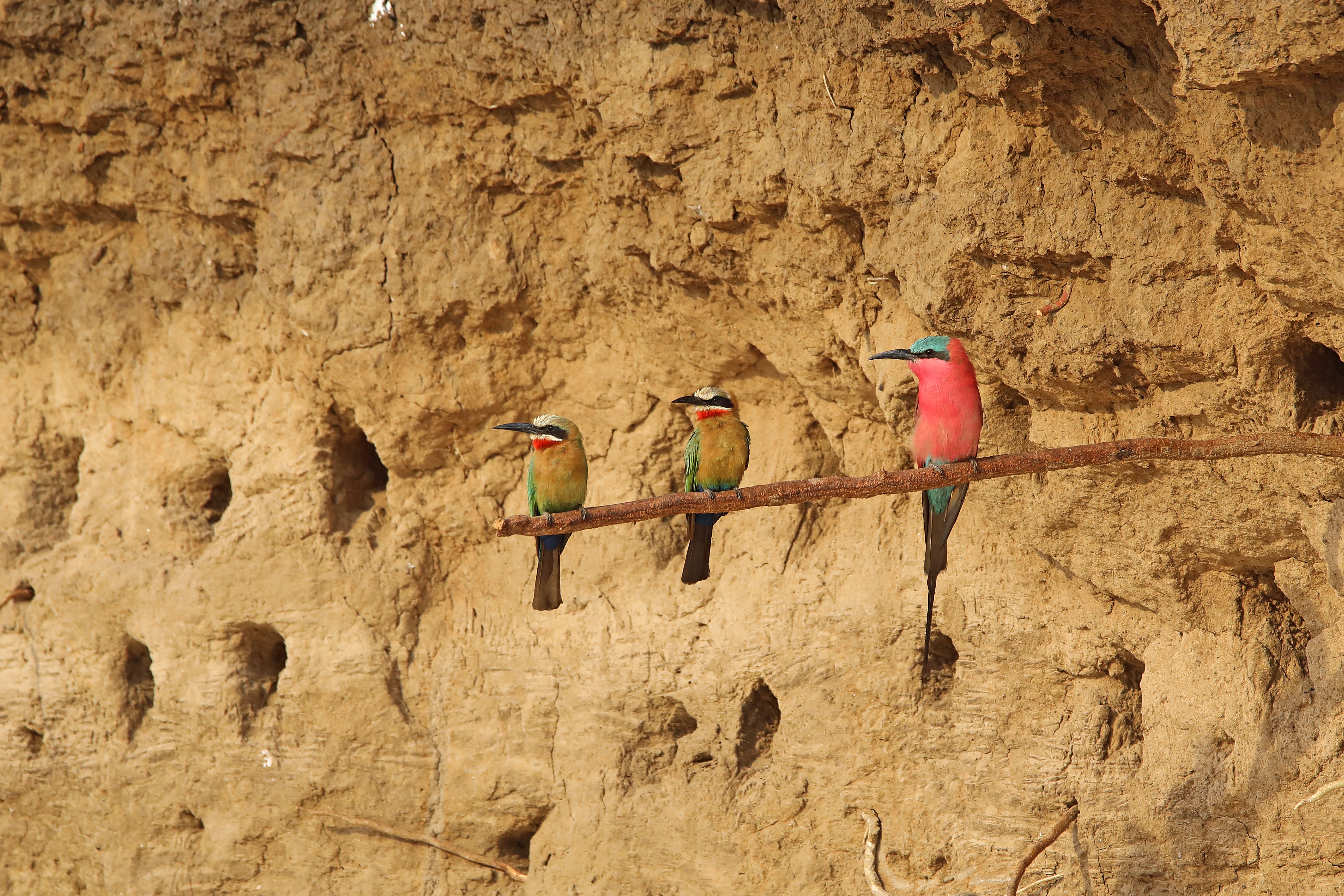 White-fronted bee-eaters, Southern Carmine bee-eater