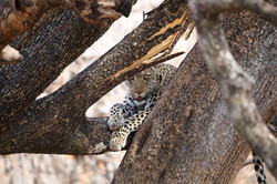 Leopard trying to hide