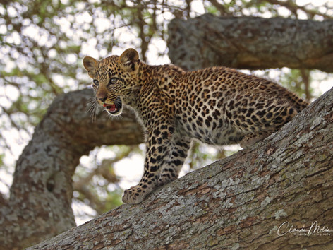 Leopard cub in the Serengeti