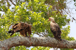 Tawny eagle with Palmnut vulture